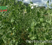 snow-pea-high-quality-image-gallery-01