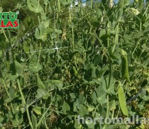 snow-pea-high-quality-image-gallery-04