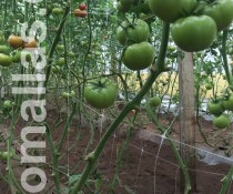 Hortomallas-crop-support-netting-on-tomato