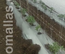 growing-tomato-tutoring-with-hortomallas