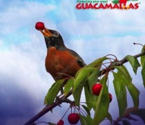 birtd-eating-cherries-from-a-tree-not-protected-by-GUACAMALLAS-the-anti-bird-net
