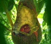 Avocado-the-avocado-for-lack-of-GUACAMALLAS-The-mesh-anti-birds