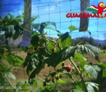 GUACAMALLAS-protecting-rasberries-from-bird-damage