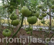 Tomato-on-greenhouse-tutoring-with-hortomallas
