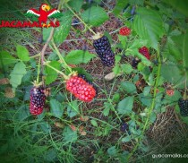 GUACAMALLAS-bird-netting-for-blackberry-blueberry-rasberry-strawberry-crop-protection