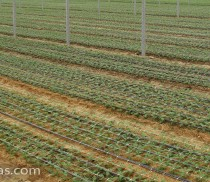 HORTOMALLAS carnations beds with netting