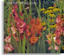 gladiola-supported_by-HORTOMALLAS