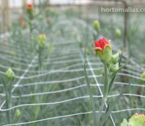HORTOMALLAS red carnation thru second layer of netting