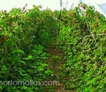 Used with berries´crops, HORTOMALLAS facilitates the harvesting