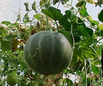 HORTOMALLAS horizontal-trellis-on-melons