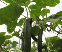HORTOMALLAS cucumber-support-net-substitutes-raffia