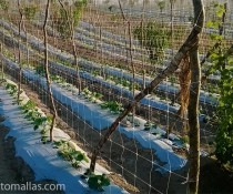 HORTOMALLAS cucumbers on a vertical trellising net system using hortomallas-notice-the-reinforcement-for-the-end-post
