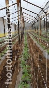double row of trellis net in a greenhouse