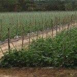 rafia hortomallas malla soporte espaldera entutorado cultivo pepino y pepinillo