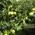 tomato netting