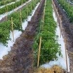 Hortomalla in horizontal application on tomatoes in open field with quilting and fertiriego