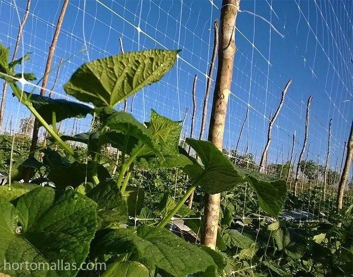 Growing Cucumbers:  a cucumber trellis and how to train cucumbers to  it