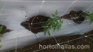 Como se amarra el pié de la planta de tomate en un sistema de doble malla