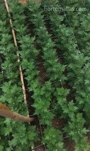 Cultivo de margaritas con soporte de malla espaldera HORTOMALLAS