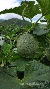 Cultivo entutorado con malla espaldera HORTOMALLAS en campo abierto