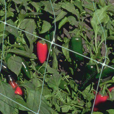 Los Productores de Hortalizas Entutoran sus Cultivos