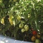 Campo de tomates