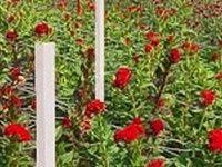 malla-para-tutoreo-de-flores-claveles-rosas-crisantemos-gerberas-lilis-alstromeria-gladiolas-soporte