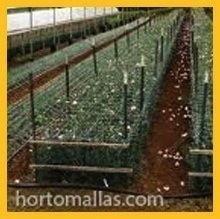 Como plantar crisântemo