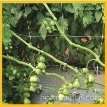 greenhouse tomatoes support with tomato net