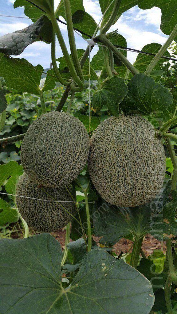 La rete per il sostegno di meloni come forma di aumentare for Coltivare meloni