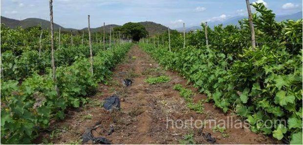 Руководство по выращиванию паслёновых с помощью опорной сетки.