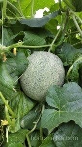 Melon with trellis net