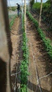 Chicharos y la rotación de cultivos