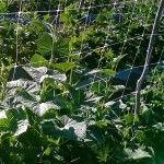 A malha pepineira controla o desenvolvimento de fungos no pepino