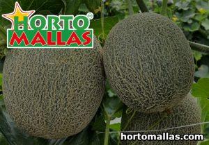 HORTOMALLAS® lattice network guarantees support for the melon.