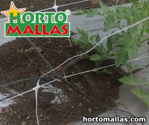 pruned tomato plants with a string trellis