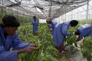 greenhouse workers touching plants