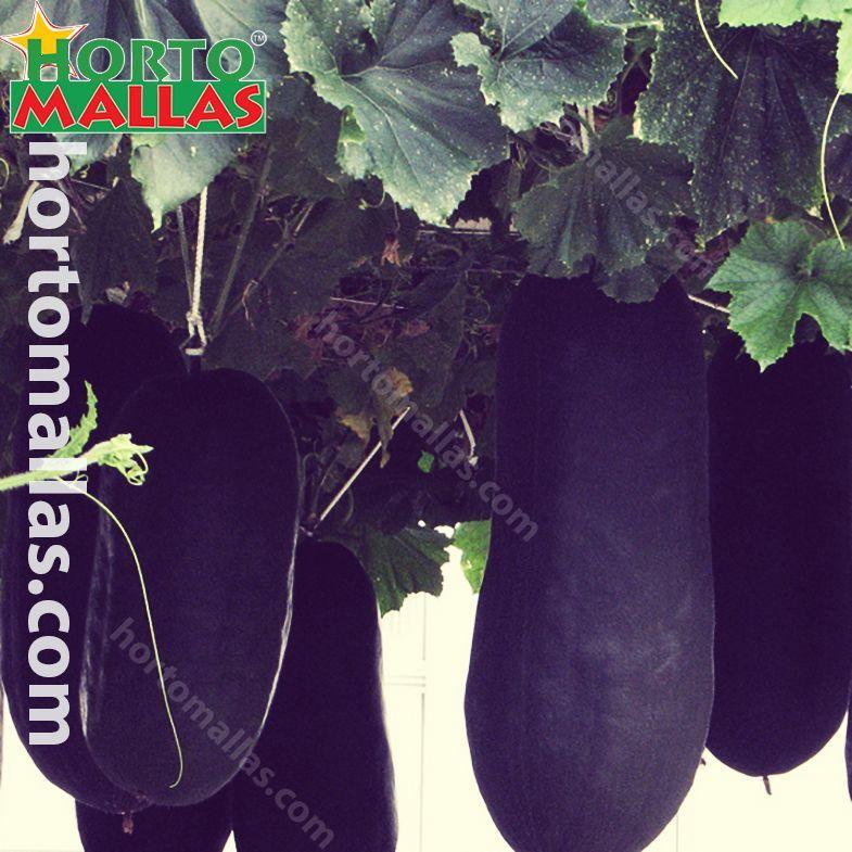 Growing Vertical Vegetables using Crop Netting