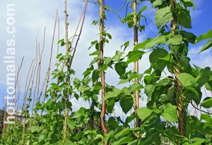 climbing beans stakes