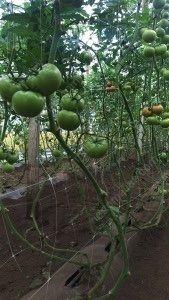 rete per supporto in serre su pomodori indeterminati usando HORTOMALLAS