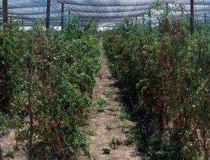 tomato virus phytopathogens