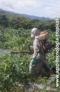 este es un ejemplo de cultivos al piso donde el paso de los trabajadores daña la planta, su floración y frutos.