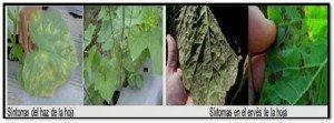 micosis en cucurbitaceas mildew mildiu pepino soporte de plantas tutoreo cultivo de piso