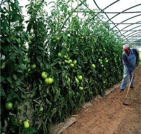 Accesibilidad entre surcos, facilitando las actividades a realizar. Y disminuyendo posibles contactos directos con las hortalizas.