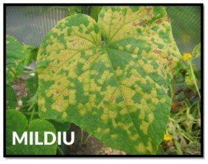 cultivo aereo tutoreo pepino micosis botrytis cucurbitaceas rafia malla espaldera