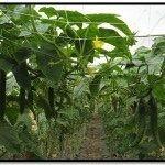 trellised cucumber