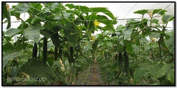 Com o uso da malha/rede de suporte da HORTOMALLAS®, a circulação do ar e a exposição ao sol aumentam, evitando o contato com o chão e, assim, aumentando o valor e a quantidade da colheita.