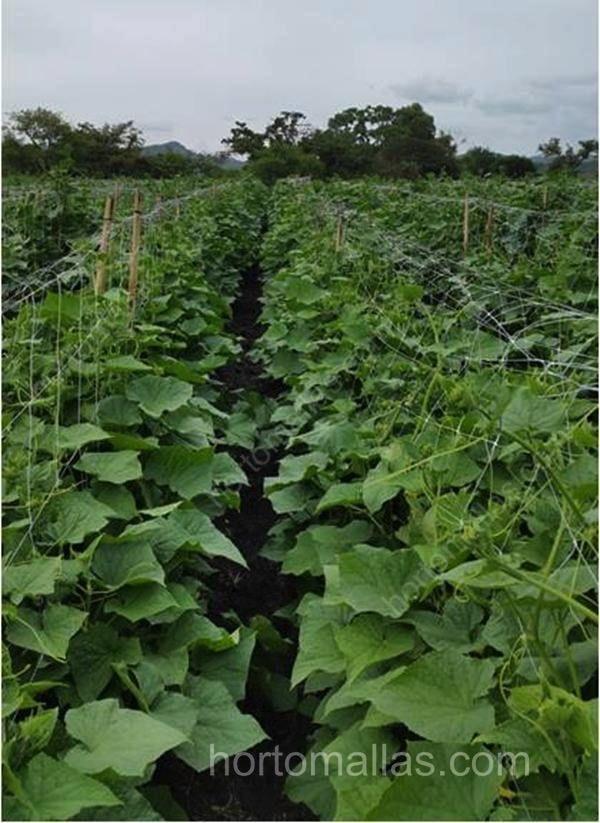 As plantas de melão crescem mais vigorosas quando são tutoradas com malha/rede treliça