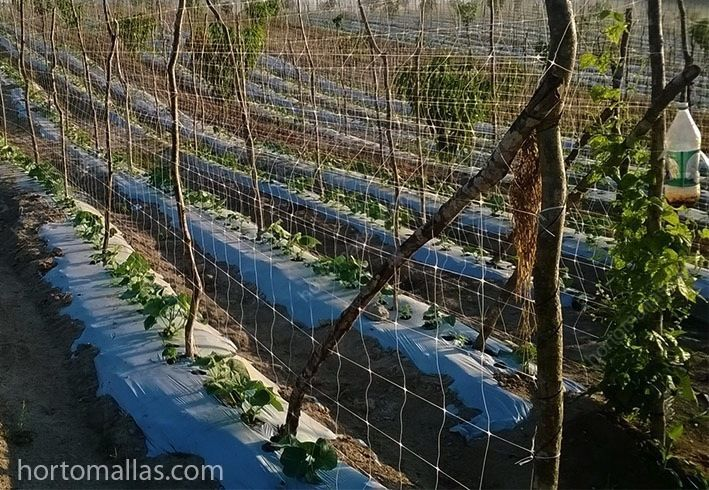 Cultivo de pepino com malha/rede treliça Hortomallas como sistema de apoio e guia; nesta foto, pode ser observado os suportes/apoios de madeira que, como no sistema com ráfia, podem ter uma distância variável entre as estacas.