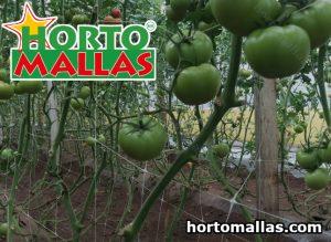 Tomates verdes e espalier malha